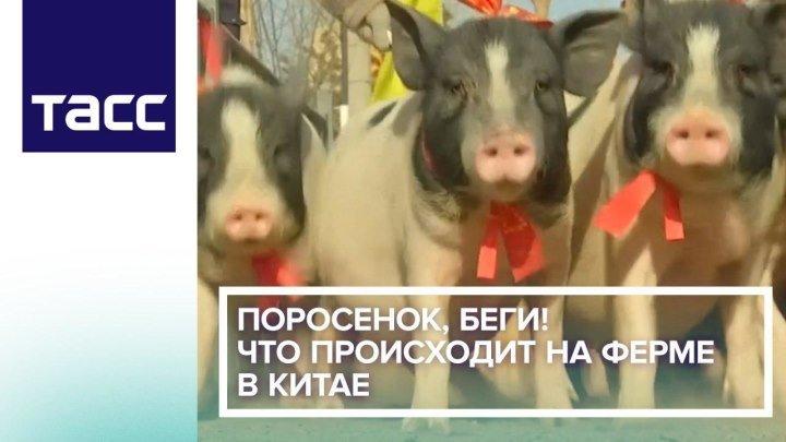 Поросенок, беги! Что происходит на ферме в Китае