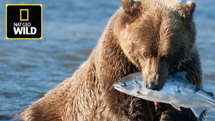 Nat Geo Wild. Медведи - дикие и безжалостные охотники! Документальный фильм