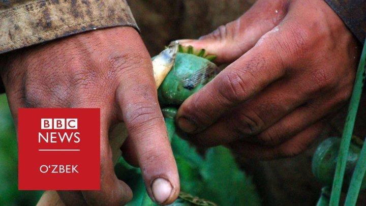Афюн изидан: Афғонистон - ҳосил - BBC Uzbek