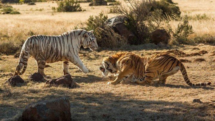 Схватка тигров (2018). документальный