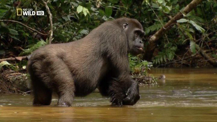 Дикая река Конго. Логово Кинг-Конга / Wild Congo (2017). документальный
