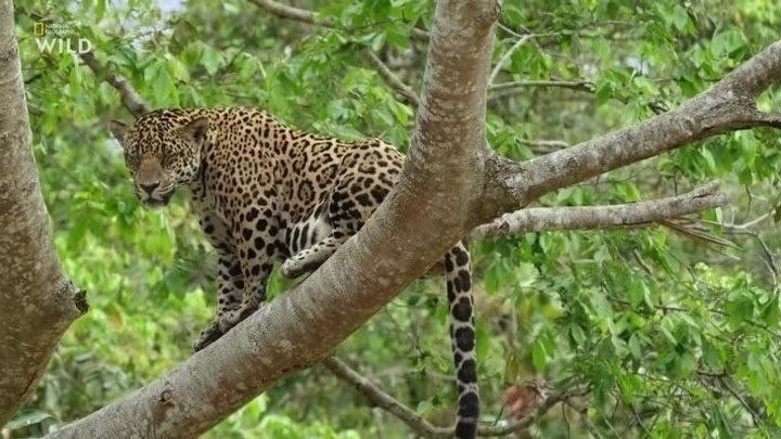Хищник в раю. Битва в джунглях. 2019. документальный
