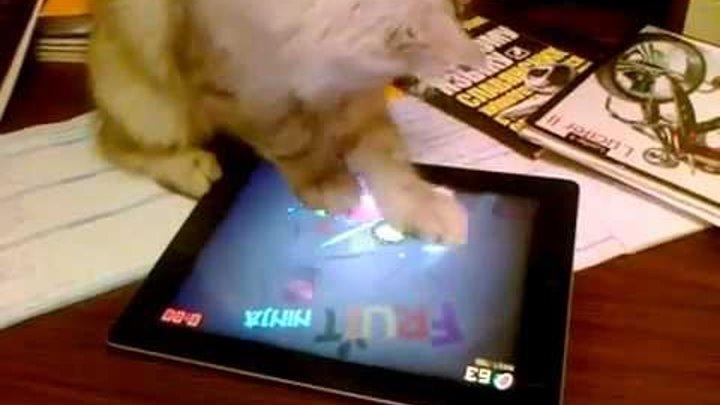 Cat Plays Fruit Ninja on iPad кот играет на айпаде