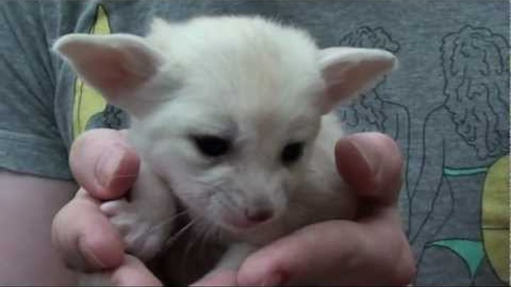 Pharaoh the Baby Fennec Fox At 4 Weeks Old