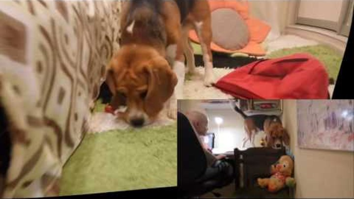 Puppy Beagle Bagel teaches lessons    Щенок Бигль Бублик учит уроки