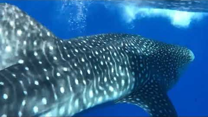 Lucky Fisherman Has Close Up Encounter With Whale Shark off Stradbroke Island