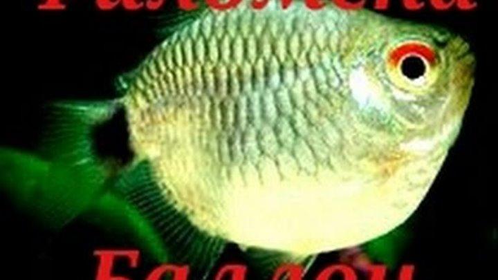 Аквариумные рыбки. Филомена баллон(дисковая)