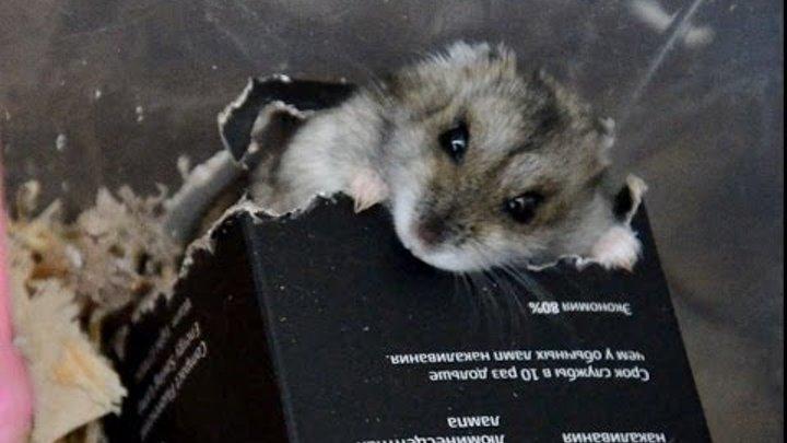 Хомячок грызет коробочку