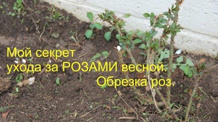 Розы.Пошаговый Уход за Розами Весной и Осенью.Правильная Обрезка Роз.