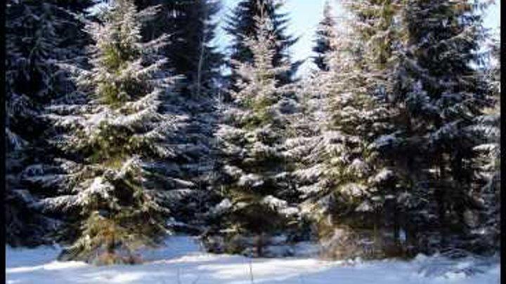 Йоркширские терьеры на зимней прогулке