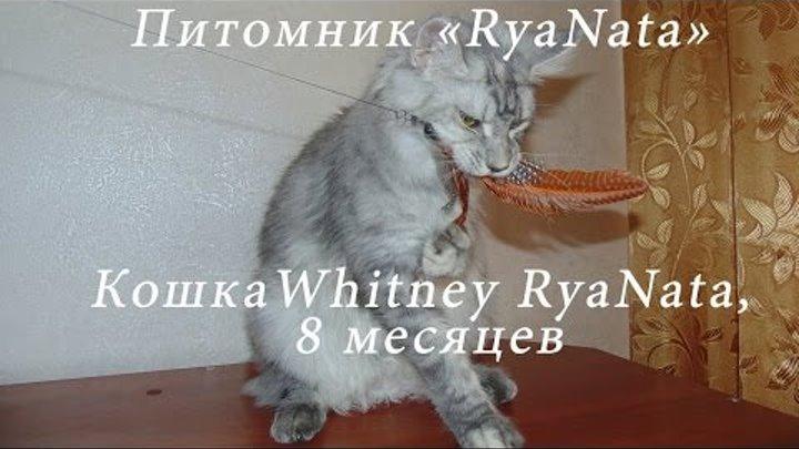 Кошка Мейн Кун Витни, 8 месяцев