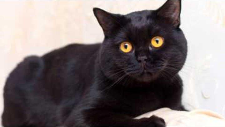 Черная Британская Короткошерстная кошка показ слайдов 2015!