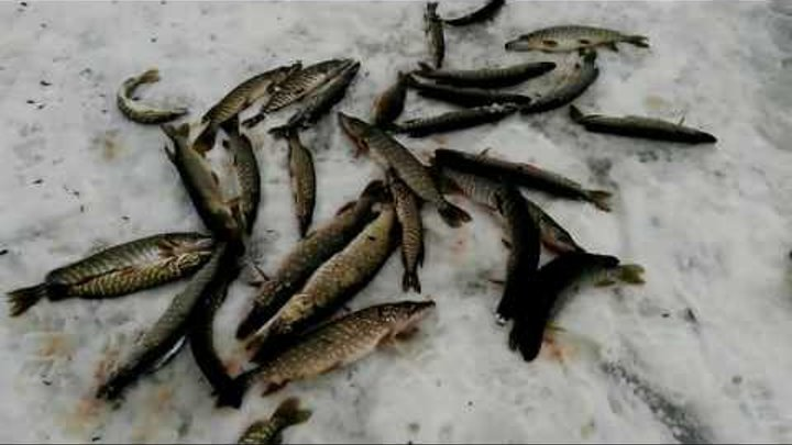 РЫБАЛКА 2017! КАК НАС ЩУКИ ГОНЯЛИ! Рыбалка на щуку с жерлицами (Зимняя рыбалка на живца)