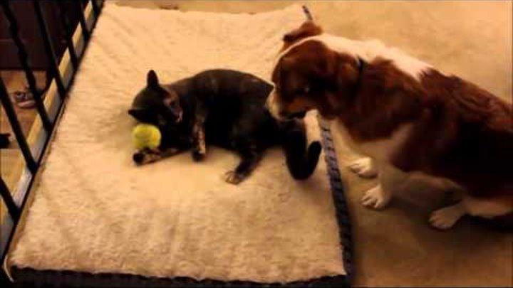 Прикол с собакой Пристальное наблюдение собаки за игрой кота с мячиком Жми и смотри!
