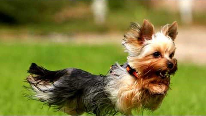 Порода собак. Йоркширский терьер. Умный, живой ,чуткий терьер.Такие еще надо поискать как он!
