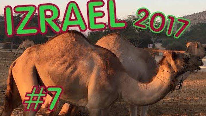 Израиль .2017. Крепость Масада .Ранчо Верблюды Негев Negev Camel Ranch