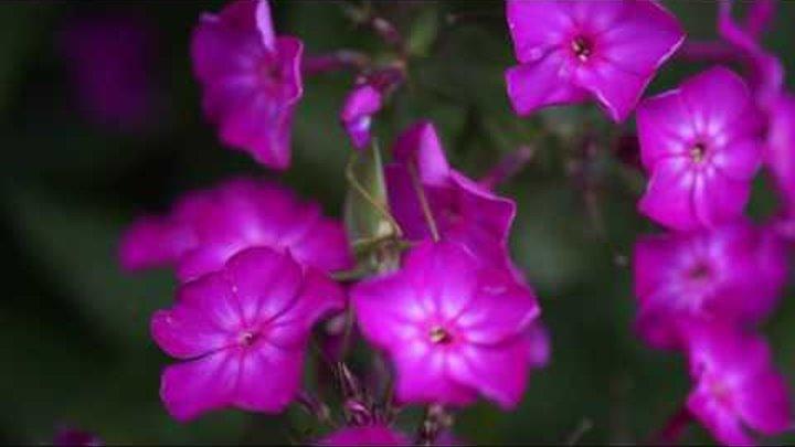 Кузнечик на нектарной трапезе (grasshopper on a flower)