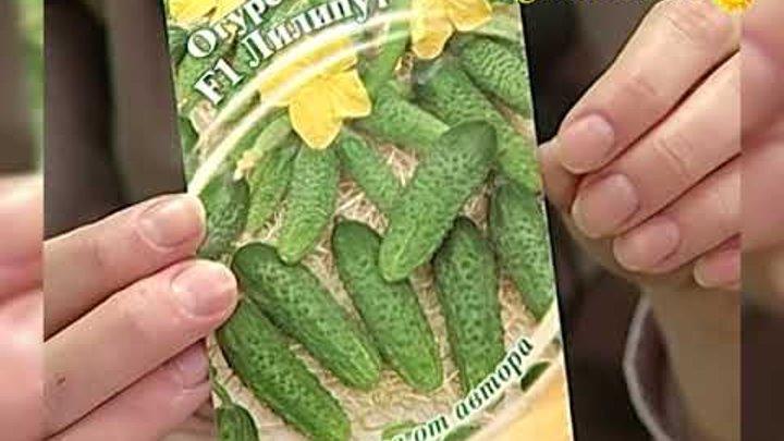 Семена огурцов на разные вкусы. Гибриды для теплиц и открытого грунта