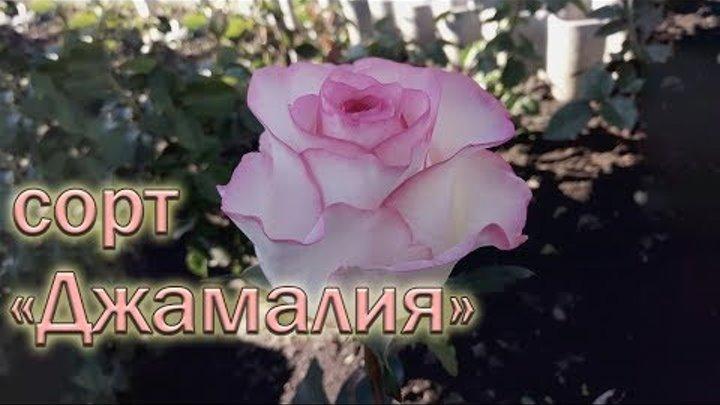 Обзор чайно-гибридных роз сорта Джамалия