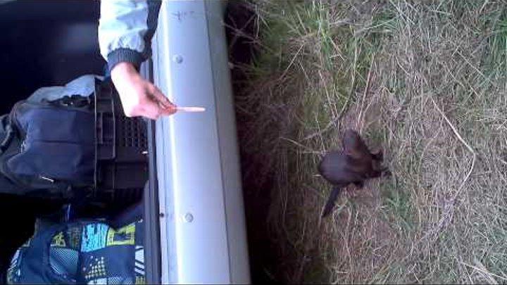 Смешные животные: норка ест шинку 04-10-2012 13:53:56