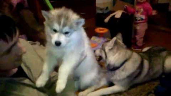 Сибирские Хаски 2 часть-щеночек лапочка