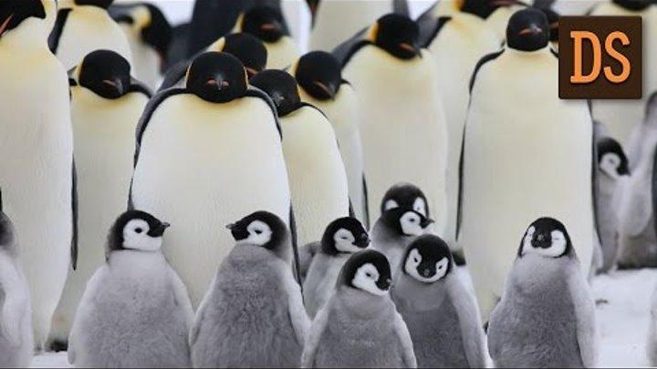 Робот шпион в стае пингвинов ЖЯ
