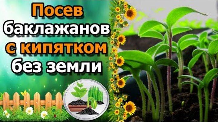 🍆РЕЗУЛЬТАТ посева баклажанов в кипяток без земли. СУПЕР СПОСОБ!