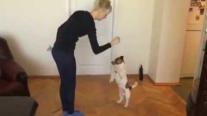 Порода Джек Рассел терьер - собака из фильма Маска