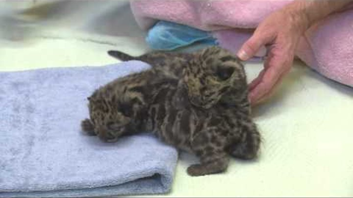 Newborn clouded leopard cubs make public debut at Point Defiance Zoo in Tacoma