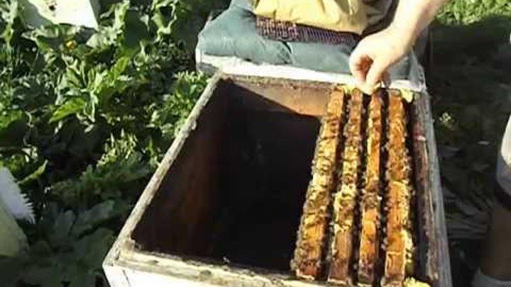 отводок на плодную матку от семьи пчел в которой появилась мисочка с личинкой