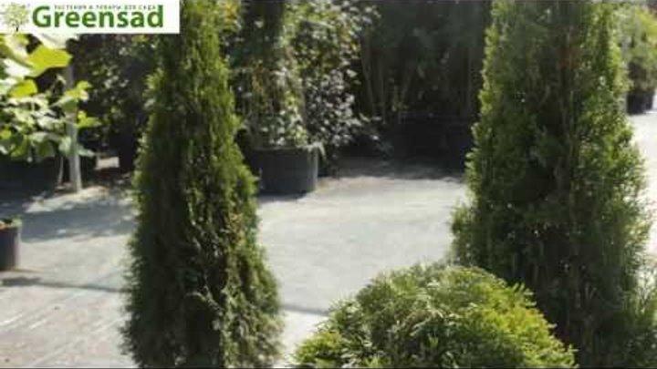 """Туя западная """"Smaragd"""", топиарной стрижки спиралью - видео-обзор от Greensad"""