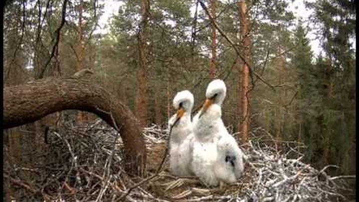 Белые птенцы в гнезде чёрного аиста Эстония White chicks in nest of black storks Estonia Beauty :()
