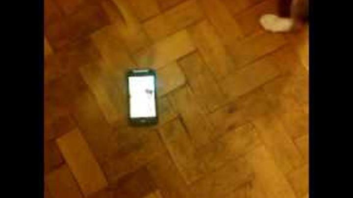 Бигль Бублик первая реакция на мобильный телефон)) Beagle Bublik first reaction to a mobile phone)))