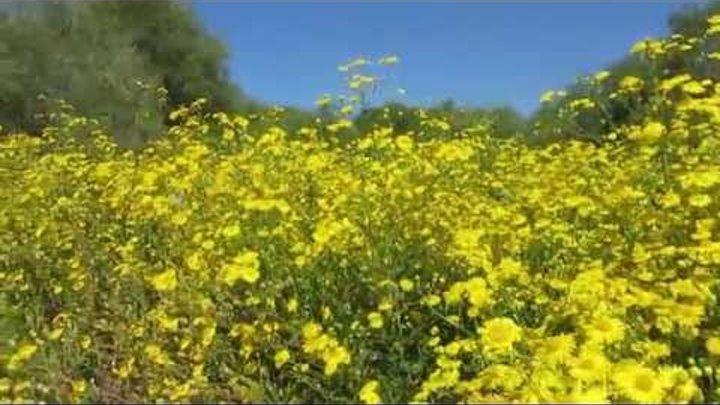 Красота Хетеротек и синее небо! Кирьят-Ям.Израиль.