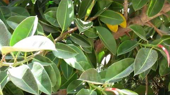 Фикус каучуконосный!лат. Ficus elastica) Кирьят-Ям.Израиль.Kiryat-Yam. Israel.