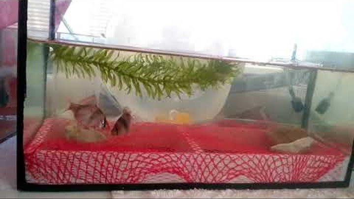 Нерест суматранского барбуса