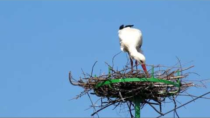 White Stork Building the Nest