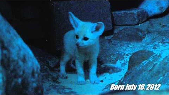 Fennec Fox Kits - Cincinnati Zoo