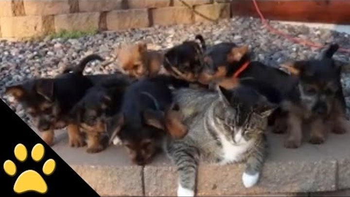 World's Most Patient Cat Puts Up with Puppies