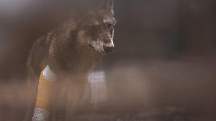 Una Storia di Lupi - Trailer - Almo Nature