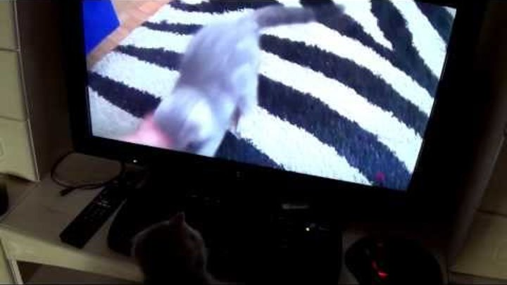 кот фунтик смотрит себя по телевизору...)))