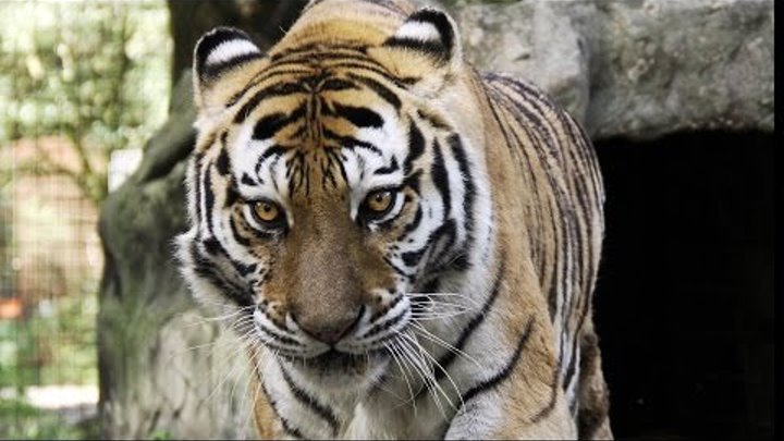 Teisha Tiger Day 3 after MRI