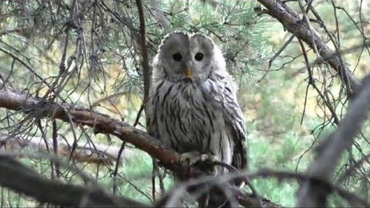 Серая сова неясыть | Gray оwl Tawny owl