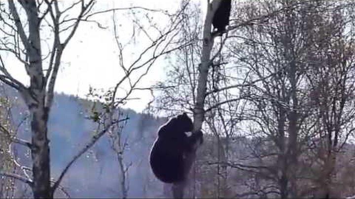 Медведь лезет за мужиком на дерево