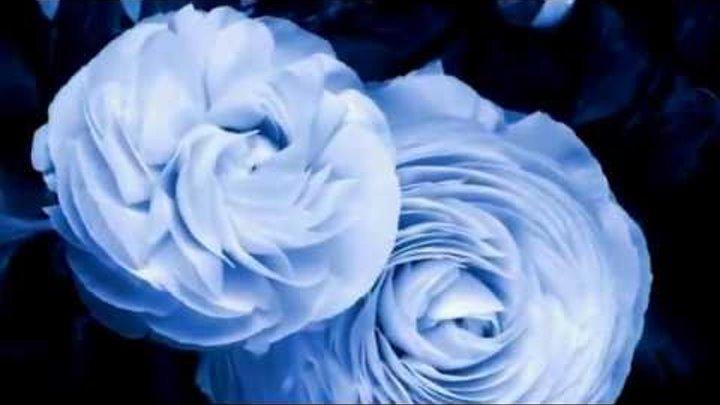 Как расцветает роза