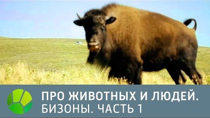 США. Бизоны. Часть 1 - Про животных и людей   Живая Планета