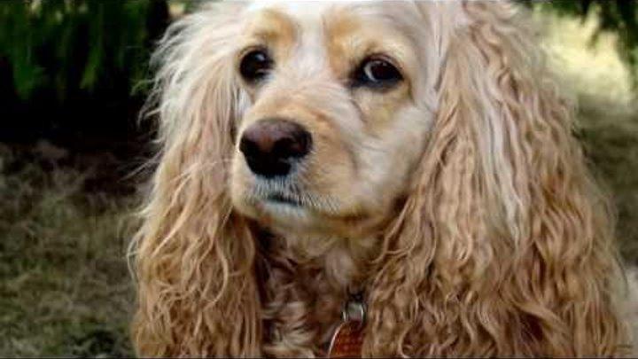 Порода собак. Американский кокер-спаниель.Очень оригинальная собака с большой и густой шерстью