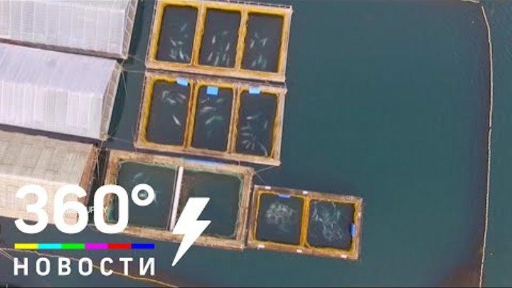 Тюрьма для китов: полчища пленных белух и касаток в Приморье готовят на продажу в Китай
