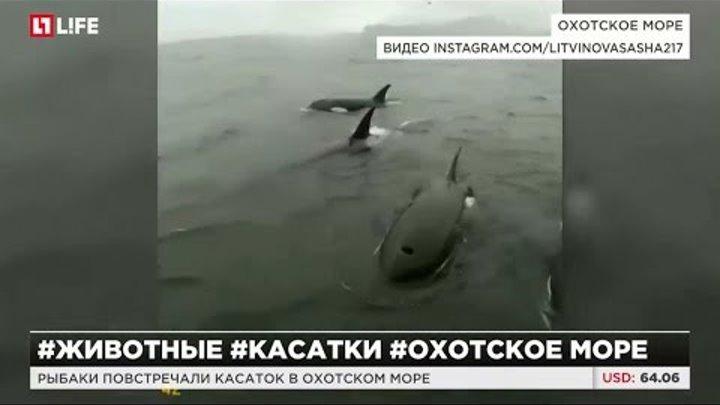 Рыбаки повстречали касаток в Охотском море