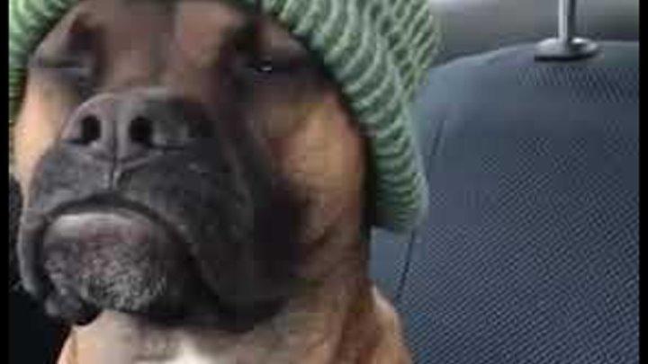 """Мистер """"Невозмутимость"""" ))) собака прикол хозяин веселый пес серьезный"""